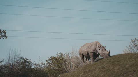 Rhino eating grass in it's enclosure in a zoo, UK. White rhinoceros. Wide shot, side view.