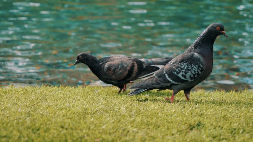 Group of pigeons walking and bobbing their heads and pecking at the ground looking for food in Las Vegas | Shutterstock HD Video #1028020193
