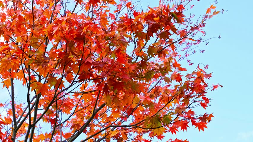 Maple tree branches are blowing against on clear blue sky background ,maple leaves turn from orange to bright red in landscape , autumn season,Japan