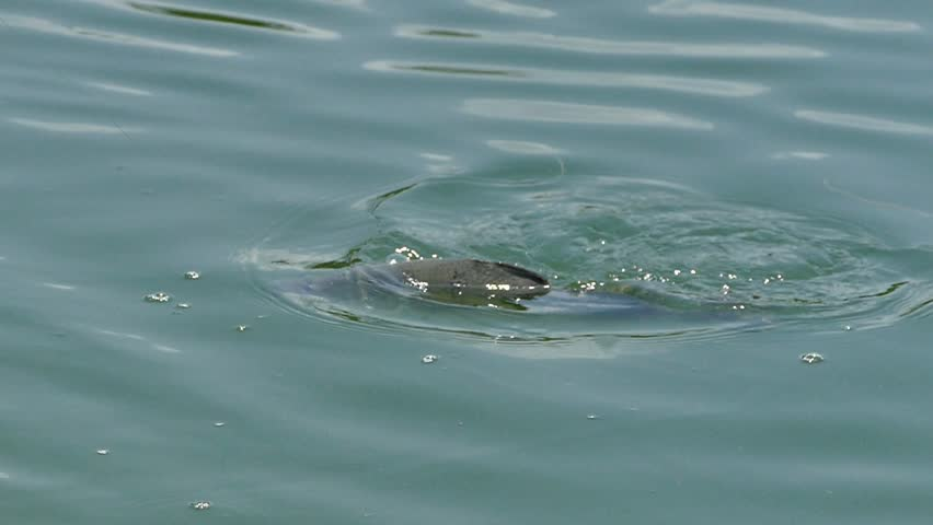 Fighting action of barramundi fish in the fishing tournament.   Shutterstock HD Video #1028077223
