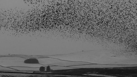 European Starling murmuration with snow covered hills in the background