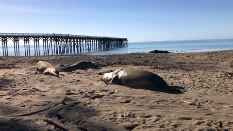 Huge elephant seals at the San Simeon pier in Central California, one chasing another.