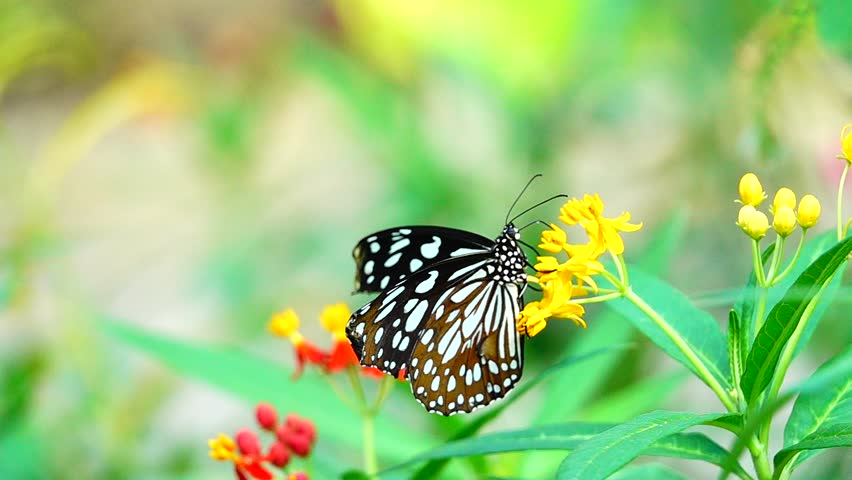 HD super slow Thai butterfly in pasture flowers Insect outdoor nature | Shutterstock HD Video #1028208413