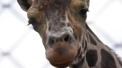 The giraffe in the enclosure looks to the side, then turns and approaches the camera, close-up of the eyes and muzzle of the giraffe