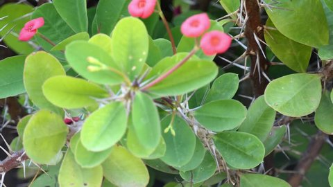 Euphorbia milii, crown of thorns, Christ plant, or Christ thorn, called Corona de Cristo in Latin America, is species of flowering plant in spurge family Euphorbiaciae, native to Madagascar.