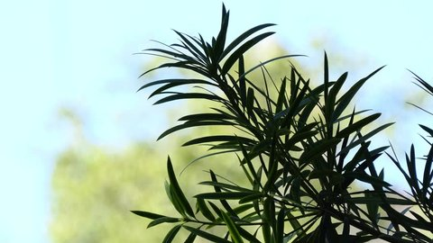 Podocarpus macrophyllus is a conifer in the genus Podocarpus, family Podocarpaceae. Common names in English include yew plum pine, Buddhist pine and fern pine.