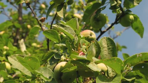 environmentally friendly apples. Green apples on the tree. beautiful apples ripen on a branch in the rays of sun. agricultural business. Apples on the tree.