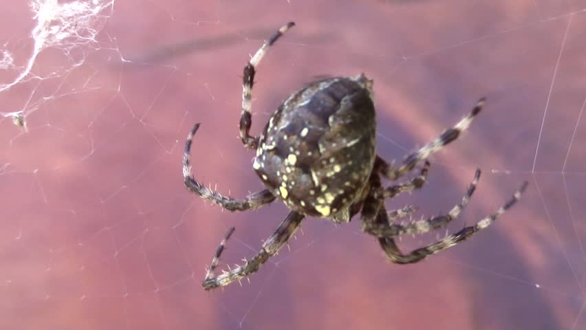 Spider. Garden Cross Spider. (cross Stock Footage Video (100% Royalty,free)  1028312843