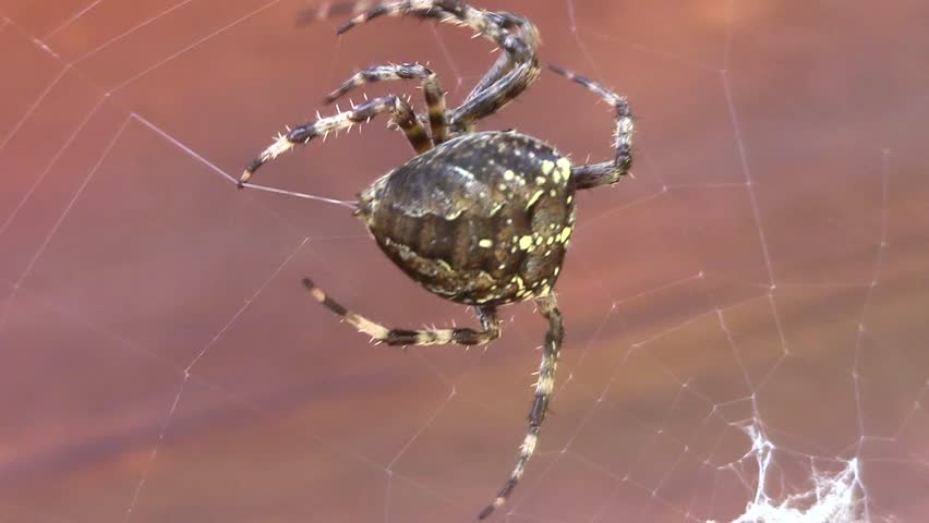Spider. Garden Cross Spider. (cross Stock Footage Video (100% Royalty,free)  1028312873