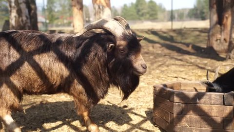 Goats on the farm. Horned goats is behind bars. Mountain goats in a cage. Organic farming