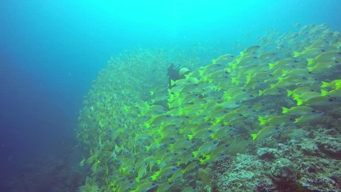 Scuba Diver on the reef between shoals of fish in blue water