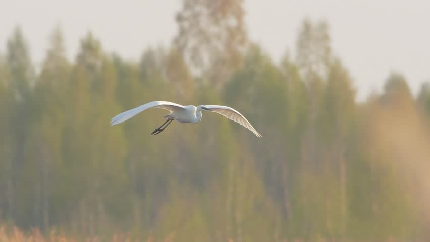 Great egret. Adult bird in flight in slow motion. Flying white heron in spring. Ardea alba. | Shutterstock HD Video #1028485103