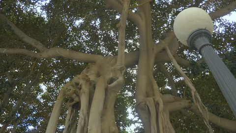 Camera tilts down along the trunk to the root structure of a Moreton fig tree in Alicante, Spain.