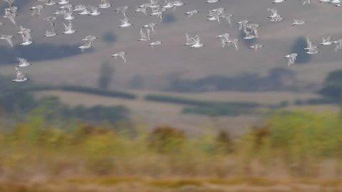Slow motion flock of Wrybill birds flying in formation across a wetland in New Zealand near Miranda