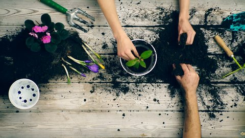 Son helps parents plant flowers in pots in the summer. Gardener hands close-up. Family planting flowers in pots. Happy gardeners with spring and summer flowers. Spring flowers at home. First flower