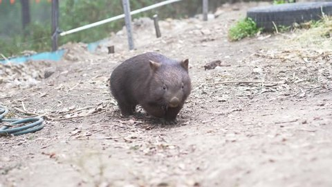Young wombat in Australian conservation (slow motion)