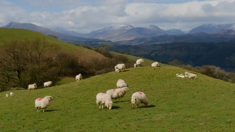 Sheep on hill mound with mountains in the background, North Wales in the UK. Version = Static Shot - 15 Seconds