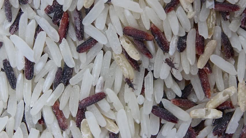 Rice weevil is a pest of small grains preserved that attack a wide variety of grains including rice, wheat, oats, rye, dry cereals, barley and corn.