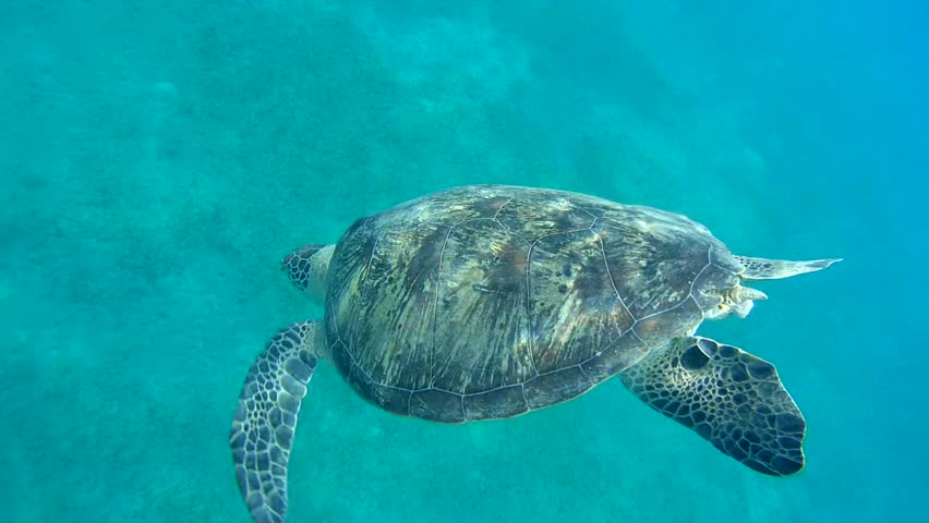 green sea turtle(Chelonia mydas) dives to the bottom and eating sea grass, Red sea, Marsa Alam, Abu Dabab, Egypt  #10290413