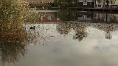 Coot gets company by other coots in lake with rush. Seagulls landing on lake. Autumn colors.