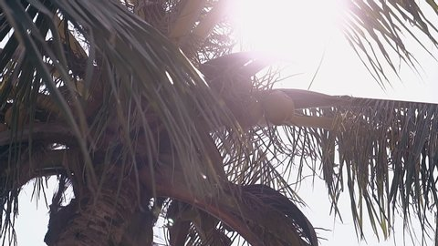 light wind blows on huge green palm leaves against bright sun in tropical summer low angle shot slow motion