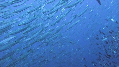 Large school of Yellowtail Barracudas dart around the blue tropical waters surrounding a coral reef.