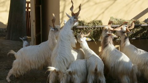 Flock of markhors eating hay in zoo