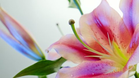 Close up macro video of a beautiful pink and white lily. Camera pan rotating. Isolated on white background.