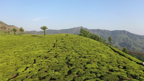 Tea Plantations in Kerala, South India