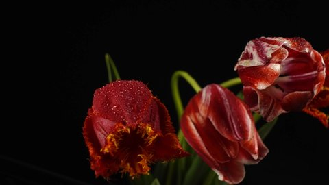 Red tulips with dew drops isolated on black, slider move