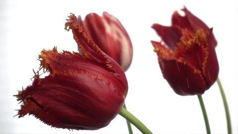 Red tulips on rain isolated on white, slow motion, 250fps