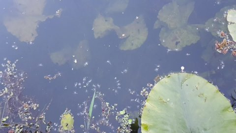 Tadpoles swimming around in the water with typical pond life and foliage.