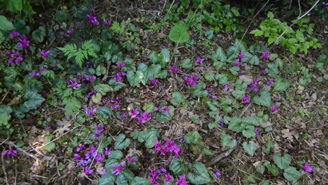 Wild cyclamen in a forest in spring. Cyclamen hederifolium. Pink flowers blooming on mountain.Wildflower in nature.  Forest soil with plants