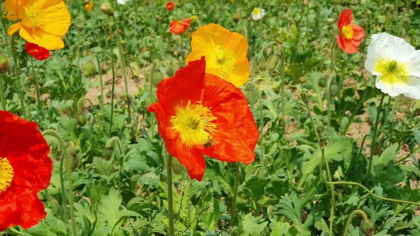 red poppies and bees rolling in flowers. yellow, red, and colorful poppy fields.
