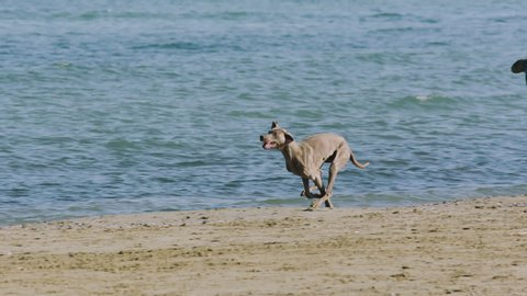 A dog weimaraner runs happy on the sunny beach with blue sea on back