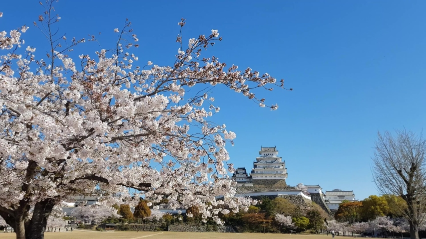 Cherry blossom and the Himeji castle in Japan | Shutterstock HD Video #1029813473