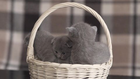 Purebred cute british shorthair kittens in a basket, close up shot
