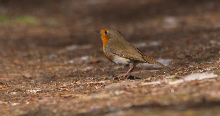Robin bird pecks at forest floor leaves looking for food summer forest slow motion | Shutterstock HD Video #1029962213