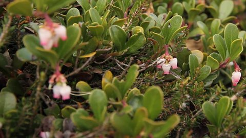 Plant with medicinal properties. Bearberry Leaves, Arctostaphylos uva-ursi