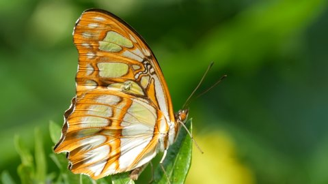 A big beautiful exotic tropical butterfly sits on a green leaf close up