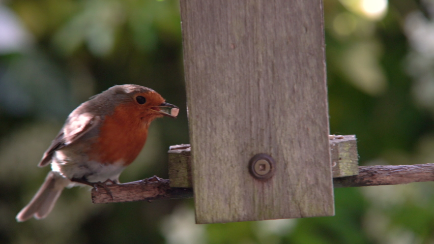4K video clip of robin eating seeds, sunflower hearts, from a bird feeder in a British garden during summer | Shutterstock HD Video #1030118183