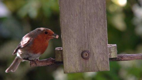 4K video clip of robin eating seeds, sunflower hearts, from a bird feeder in a British garden during summer