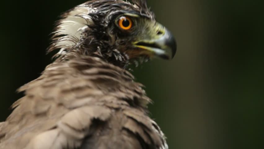 Bird of prey Goshawk landed on a forest tree after bathing in a pond | Shutterstock HD Video #10301243