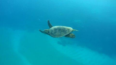 Hawksbill Sea Turtle (Eretmochelys imbricata) swim in blue water, Red sea, Abu Dabab, Marsa Alam, Egypt