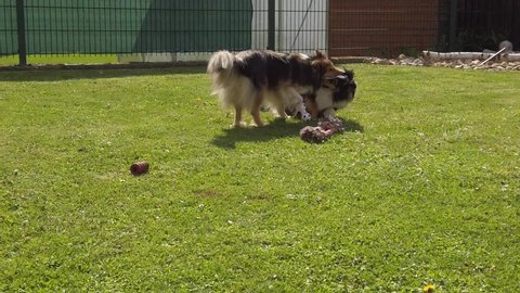 Two beautiful Shetland Sheepdogs are playing together in the garden.