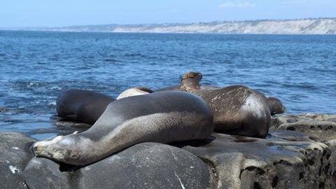 Sleepy seals resting and soaking in the sun at La Jolla California, medium shot