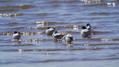 A flock of black-headed gull birds is resting in shallow water. Birds sleep, clean their feathers and frolic a little. Small waves roll on the birds. Sunny summer day.