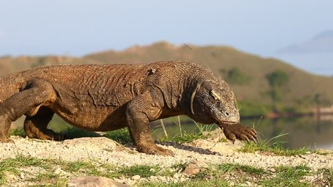 Komodo Dragons in Komodo National Park. Indonesia. Close-up. Beautiful background.