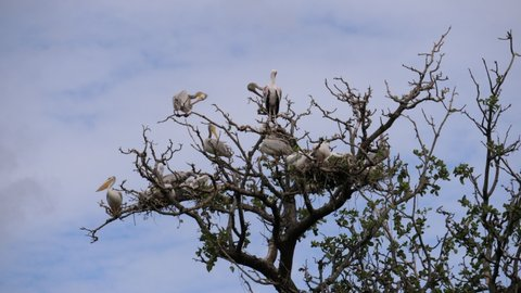 Flock of Pelicans and yellow billed Storks high in the tree. Young Pelicans sitting in the nest. Tanzania, Africa