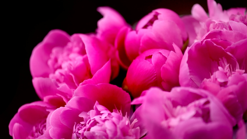 Beautiful pink peony flowers bouquet opening background. Blooming roses flower open, time lapse, closeup. Wedding backdrop, Valentine's Day concept. Bouquet on black backdrop, closeup 4K UHD timelapse